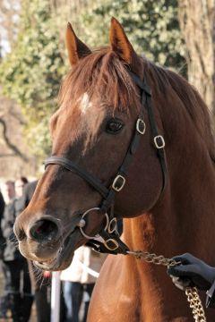 Toylsome im Porträt. www.galoppfoto.de - Sandra Scherning