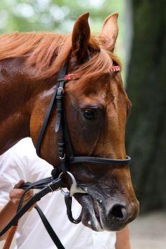 Darnell beim Zweijährigen-Rennen in Düsseldorf 2010. Foto Sandra Scherning