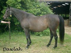 Dawlah im Jahr 2009 - sie ist Mutter des 2000 geborenen Derbysiegers Dai Jin. www.gestuet-directa.de
