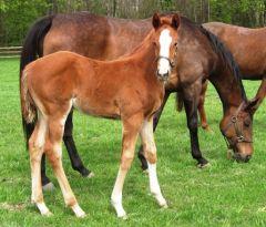 Etwa einen Monat alt: Stutfohlen a.d.Kylini von Medicean, geb.17.03.12. Foto: Gestüt Hof Ittlingen