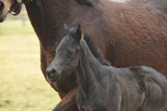 Am 14.02. geborenes Maxios-Fohlen aus der Waldtraut im Gestüt Brümmerhof. Foto: Julia Baum