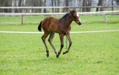 Amazing Run wurde am 03.03.12 geboren (Goodricke – A La Criee). Der Hengst ist ausgesprochen lauffreudig und immer auf der Suche nach einem Spielkammarad. Foto: Anja Pulger