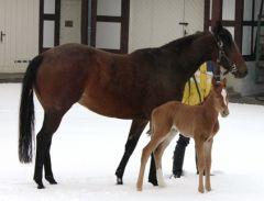 At First Sight mit ihrem am 24.03.2013 geborenen Stutfohlen von Nayef im Gestüt Harzburg. Foto: privat