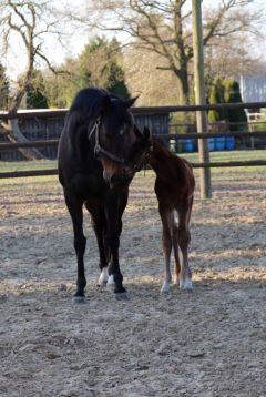 Mutter und Sohn: Best Tune mit ihrem Fohlen von Masterstroke im Gestüt Hachetal. Foto: privat