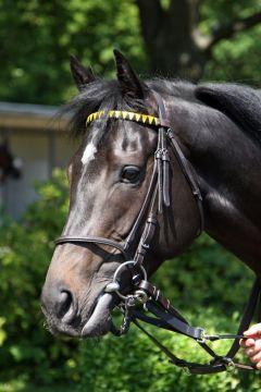 Cascavel legte beim dritten Start seine Maidenschaft ab. www.galoppfoto.de - Sabine Brose