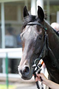 Ein Pferd für die Galerie: Colomano präsentiert sich in seiner ganzen Schönheit vor dem Oppenheim Union-Rennen. Foto: Dr. Jens Fuchs