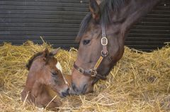 Danedream mit ihrem Erstling, ein Stutfohlen von Frankel, das am 27.01.2014 im Newsells Park Stud zur Welt kam. www.newsells-park.com