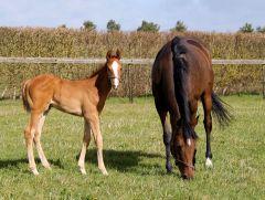 Danedream mit ihrem am 26.02. geborenen Hengstfohlen von Frankel. Foto: www.newsells-park.com