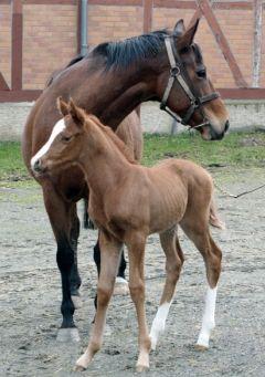 Das erste Adlerflug-Fohlen präsentiert sich wenige Tage nach der Geburt mit seiner Mutter Moyenne im Gestüt Harzburg. www.vollblut.com
