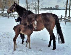 Das erste Fohlen von Amaron kam am 09. Januar 2017 zur Welt - Mutter Bella Amica ist selbst Listensiegerin und Schwester zum mehrfachen Gruppesicher Banyumanik. Foto privat