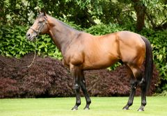 Der Coolmore-Stallion Fastnet Rock. www.coolmore.com