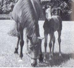 Derbysiegerin Asterblüte auf den Schlenderhaner Koppeln mit ihrem Fohlen Alameda v. Magnat. Foto Archiv