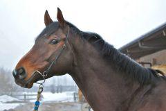 Der Monsun-Sohn Eiswind 2011 neu als Stallion im schweizerischen Gestüt Trikolore. Foto LBS
