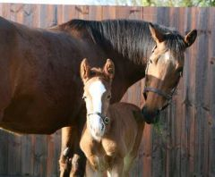 Frankels Mutter Kind mit ihrem am 02. Februar 2013 geborenen Hengstfohlen von Galileo, ein rechter Bruder des in 14 Rennen ungeschlagenen Superstars. www.juddmonte.com