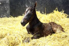 Goldschätzchen direkt nach der Geburt am 22.04.2009 im Gestüt Görlsdorf. www.galoppfoto.de