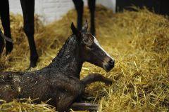 Kurz nach der Geburt: Stutfohlen von Siyouni aus der Kalahari Dancer. www.stauffenberg.com