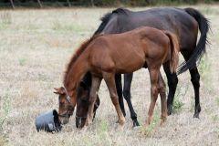 Lambo mit seiner Mutter Linarda - Stute und Fohlen schauen auf der Weide in einen leeren Eimer. ©galoppfoto - Frank Sorge
