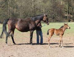 Palma und ihr am 16.03.2011 geborenes Stutfohlen von Wiesenpfad im Alter von 8 Tagen. Foto: Ines Raabe
