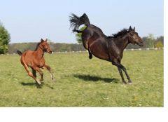 Prairie Lilli (r.) und Prairie Excellent. Foto: Ulrike Feill