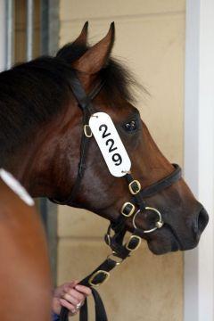Sanogo wurde bei der BBAG-Jährlingsauktion für € 180.000 an R. & B. international verkauft. www.galoppfoto.de
