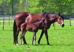 Forlea mit ihrem 2012 geborenen Hengstfohlen von It's Gino. www.silbereiche.de