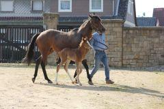 At First Sight mit ihrem am 18.04.2014 geborenen Stutfohlen von Kamsin im Gestüt Harzburg. Foto privat