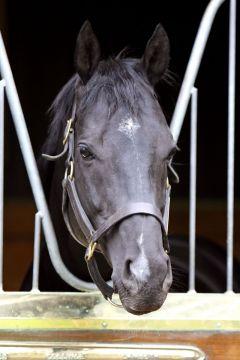 Stallion Manduro im Porträt. www.galoppfoto.de - Frank Sorge