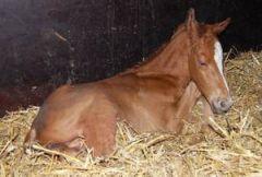Wenige Minuten nach der Geburt ist dieser kleinen Liquido-Hengst aus der New Zealand noch ein wenig müde .....
