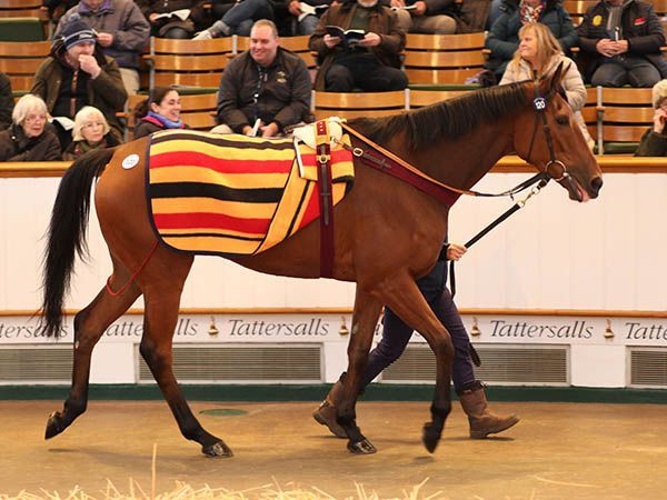 I'll Have Another am Donnerstag im Ring. Foto: Tattersalls