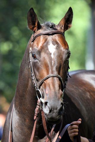 Lucas Cranach, one of the first German horses in Australia. www.galoppfoto.de - Sabine Brose