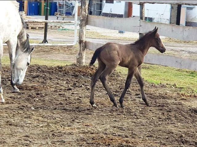 Das erste Fohlen von Isfahan, die Schimmelstute ist die Mutter Amazing Grey. Foto: privat