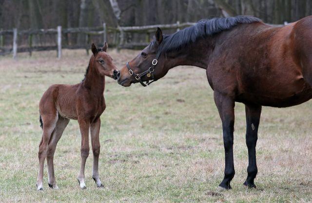 Auch ein kleines Plus ist ein Erfolg: Die Zahl der Mutterstuten und Fohlen ist leicht gestiegen. www.galoppfoto.de - Frank Sorge