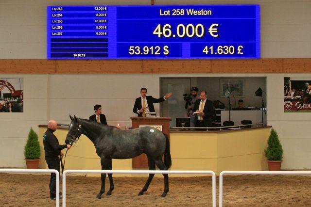 Der Top-Seller: Lot 258, Weston im Auktionsring der BBAG-Herbstauktion. Am Ende standen 75.000 Euro auf der Anzeigentafel. www.galoppfoto.de - Sarah Bauer