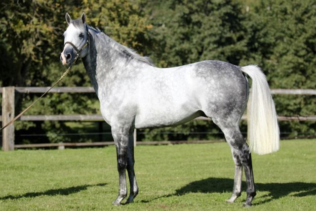 Der neue Babolna-Hengst Silver Frost. Foto: Babolna