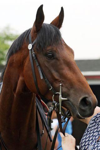 Sweet Thomas, der Senior unter den Melbourne Cup-Kandidaten. www.galoppfoto.de - Sabine Brose