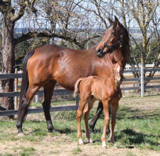 Eine Woche alt: Der Nayef-Hengst aus der Finity wurde am 26.03. im Allgäu geboren.: Foto: www.hofgut-heymann.de (neue Webseite!)