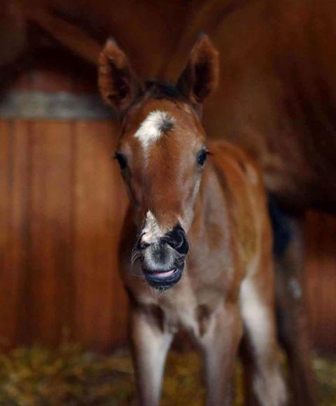 Babyface: Ein kleines Milchmaul mit großen Augen und Plüschohren - so lässt sich das feine Pastorius-Stutfohlen der Echo Mountain (Züchterin Catrin Nack) derzeit noch beschreiben - Foto: privat