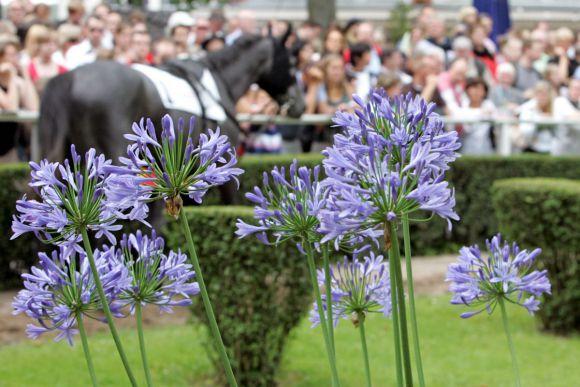 Durch die Blume: Pferd im Düsseldofer Führring. Foto: www.galoppfoto.de - Sabine Brose