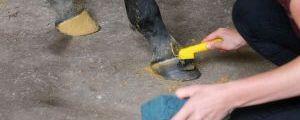 Rundumbetreuung - stillgestanden auch beim Hufe säubern. Foto: Karina Strübbe