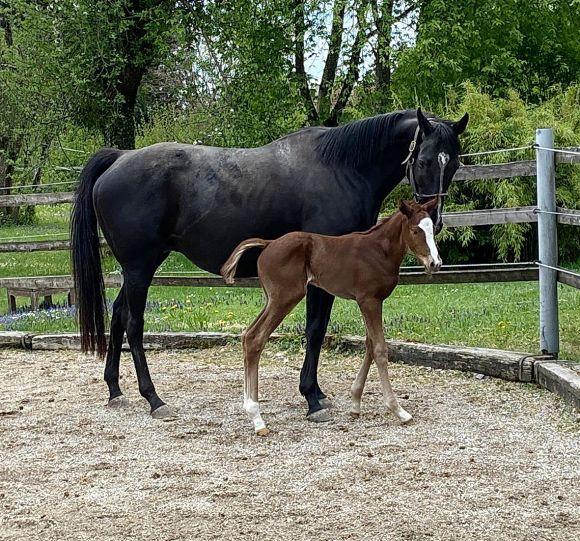 Bunt und groß: So beschreibt man im Gestüt Jettenhausen das am 28.4. geborene Stutfohlen der Aliana (Singspiel). Vater ist der Etzeaner Stallion Amaron, als Züchter zeichnet der Stall Logo. - Foto: privat
