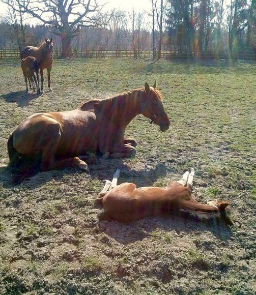 Tiefenentspannt: Relaxen in der Sonne ist angesagt für Divya und ihr Stutfohlen von Soldier Hollow. Ob sie wohl davon träumt, auch mal so schnell zu laufen wie ihr großer Bruder Dschingis Secret? Foto: privat
