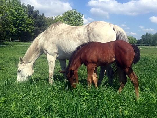 Nummer 2: Das zweite Fohlen für den Jungzüchter Philipp Köhnken ist dieser Hunters Light-Sohn. Seine Mutter ist die Kaldounevees-Stute Galla Placida, mit der er sich hier gerade das frische Gras schmecken lässt. Wir wünschen entspanntes Weiterwachsen.- Foto: privat