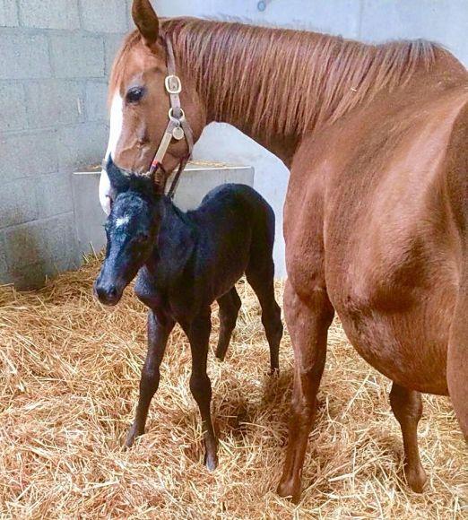 Maxios lässt grüßen: Eindeutig Vaters Farbe hat die kleine Stute geerbt, die im Castletown Stud in Irland geboren wurde. Die Mutter ist die Big Shuffle-Stute La Salvita, Züchter ist Taxi4horses.com - Foto: privat