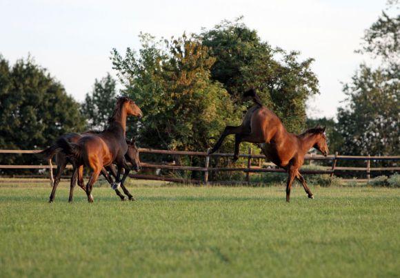 Pferde galoppieren und toben auf der Weide. www.galoppfoto.de - Frank Sorge