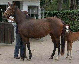 Saldentigerins Tochter Sahara mit ihrem Stutfohlen von Zamindar im März 2011, jetzt ist sie zu Wiesenpfad gebucht. www.dequia.de