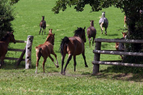 Warten auf den Frühling: Stuten und Fohlen galoppieren im Gestüt Harzburg  auf die Weide. www.galoppfoto.de (Archiv) - Frank Sorge
